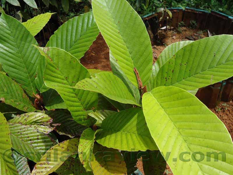 ... Flora in Sri Lanka ,Dipterocarpus zeylancus , Dipterocarpaceae Family