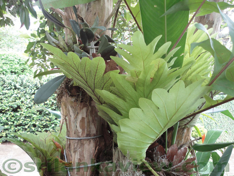 Do Ferns Grow Under Oak Trees : Typical home garden landscaping in srilanka kandy suburb