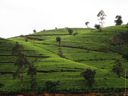 Tea Plantation at Nuwara Eliya
