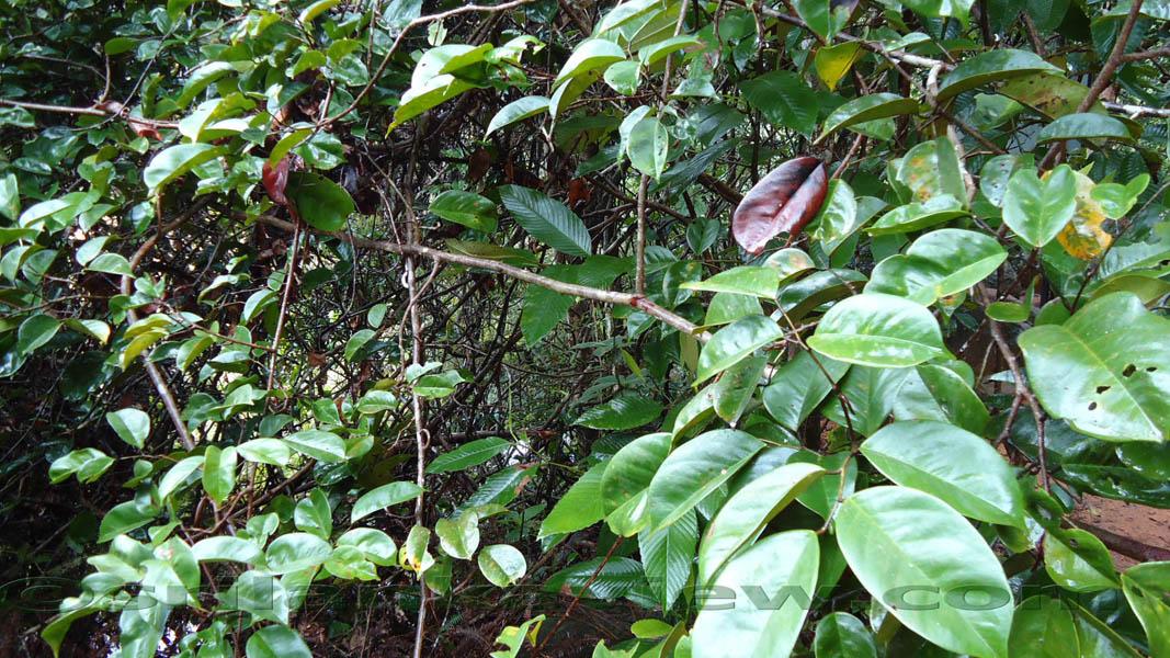 sinharaja rainforest essay
