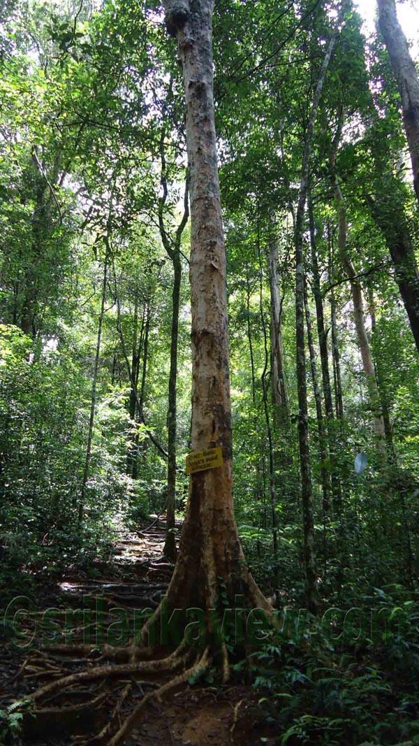 sinharaja rainforest essay Tourism in sri lanka - essay  nature witness the unmatched bio-diversity of sri lanka is waterfalls, misty hills, breezy mountains and sinharaja rain forest.