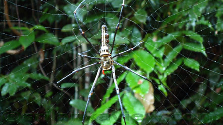 Sinharaja Rain Forest - Spider and its Web