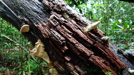 Sinharaja Rain Forest- decayed tree trunk image